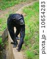 陸上動物 チンパンジー 動物の写真 10654283