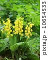 草花 エビネ 黄海老根の写真 10654533