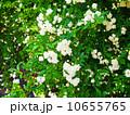 白モッコウバラ 10655765