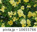 黄モッコウバラ 10655766
