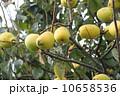 花梨 花梨の実 木の実の写真 10658536