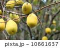 花梨 花梨の実 木の実の写真 10661637