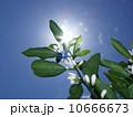 天に伸びるミカンの花 10666673