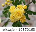 黄モッコウバラ 10670163