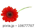 Gerber Daisy isolated on white background 10677707