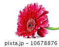 Gerber Daisy isolated on white background 10678876