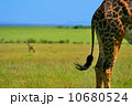 Close-up on Giraffe skin 10680524