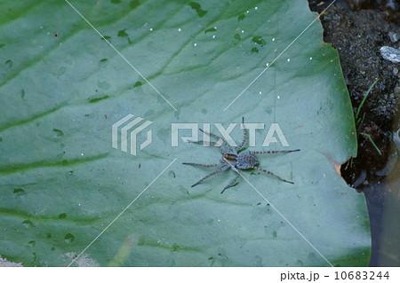 アオグロ走蜘蛛 水の上でも走ります。 10683244