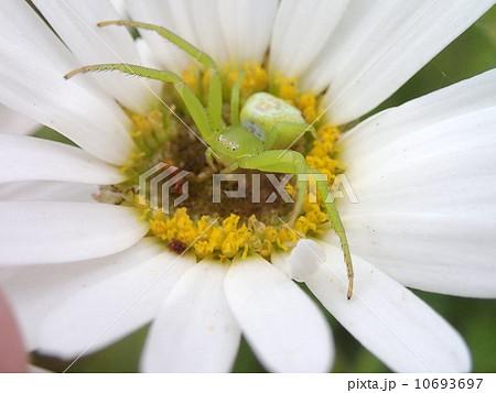花蜘蛛の写真素材 [10693697] - PIXTA