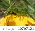 キリギリス類(幼虫) 10707121