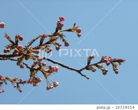 明日にも咲きそうなオオシマザクラの蕾 10729554