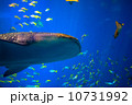 ジンベイザメの遊泳 10731992