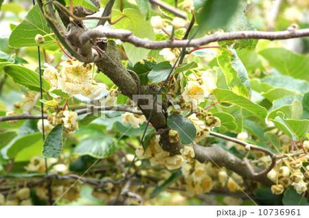 棚作りのキウイフルーツ(開花期) 10736961