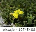 家紋に沢山使われているカタバミの黄色い花 10745488
