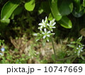 春の七草の一つハコベ似た葉っぱのオランダミミナグサの花 10747669