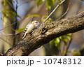 鳥類 コゲラ 野鳥の写真 10748312