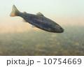 魚類 桜鱒 山女魚の写真 10754669