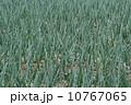 タマネギ畑 10767065