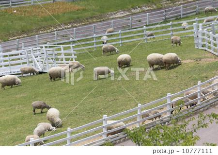 牧場の羊 10777111