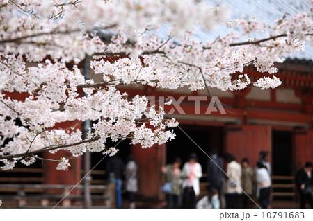醍醐寺の桜 10791683