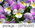 ビオラ 10791935