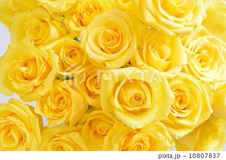 一面 黄色いバラ 父の日 素材の写真素材