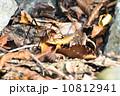 コノシタウマ(カマドウマ) 10812941