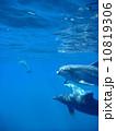 イルカ 10819306