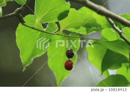 自然 植物 本当にあります ボロボロの木 10819413