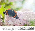 Batterfly on the lilac. 10821866