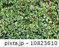 小枝 成長 生育の写真 10823610