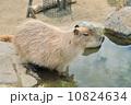 温泉に入るカピバラ 10824634