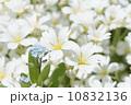 忘れな草とシロミミナグサ 10832136