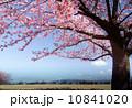 丘に立つ桜の木1本 10841020