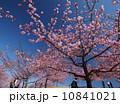 青空の下、河津桜を楽しむ人々 10841021