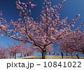 青空の下、河津桜を楽しむ人々 10841022
