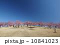 丘と桜と青空 10841023