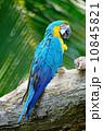 インコ 動物 金の写真 10845821