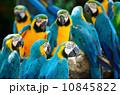 インコ 動物 金の写真 10845822