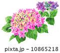 水彩 ガクアジサイ 花のイラスト 10865218