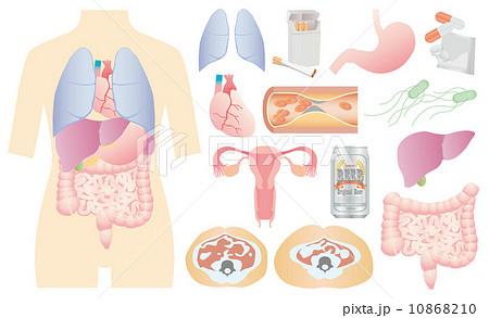 人体 内臓図 10868210