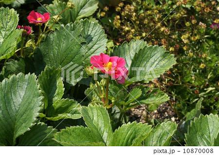 ピンク色の苺の花 10870008