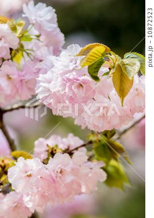 春の花 桜(白山大手毬・ハクサンオオテマリ) 10872523