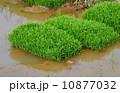 苗床 早苗 田んぼの写真 10877032