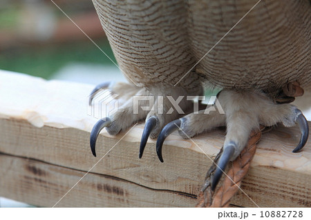 つめ 足 ミミズク ふくろう 猛禽類  シベリアワシミミズク 雛 10882728