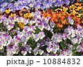 ビオラ 満開 花の写真 10884832