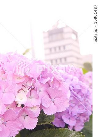 紫陽花と展望タワー 10901487