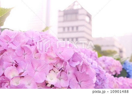 紫陽花と展望タワー2 10901488