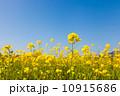 菜の花 10915686