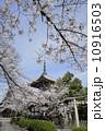 本法寺 満開 桜の写真 10916503